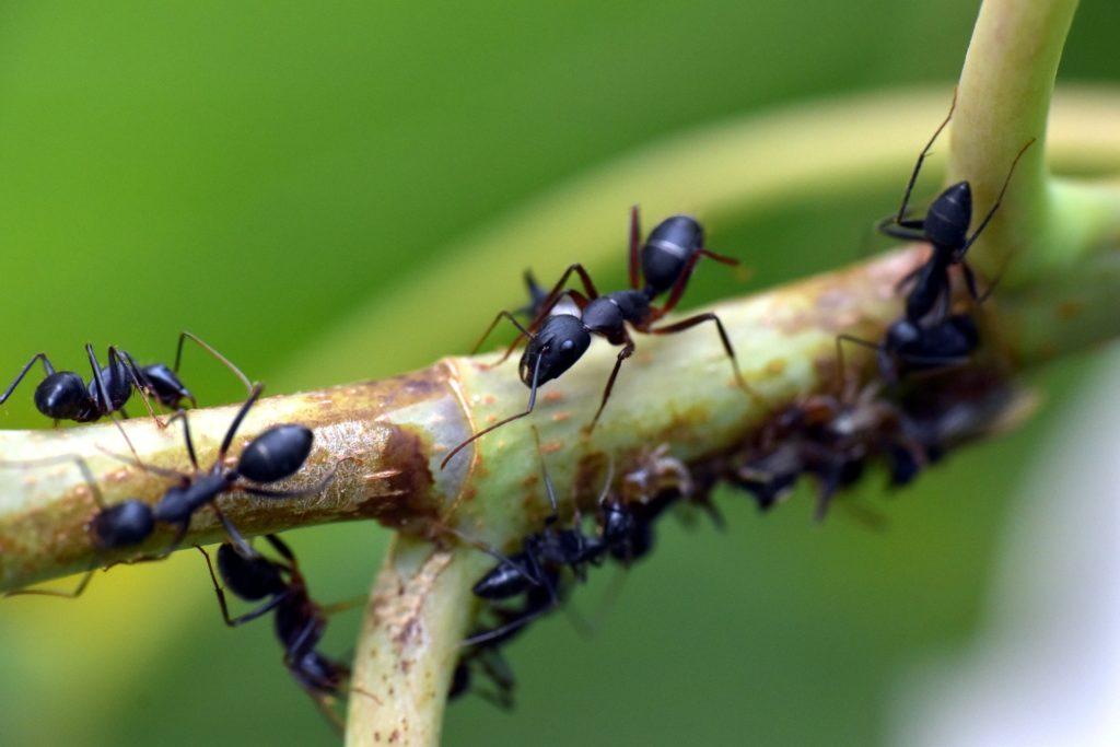 hormigas como mascotas hormigas negras