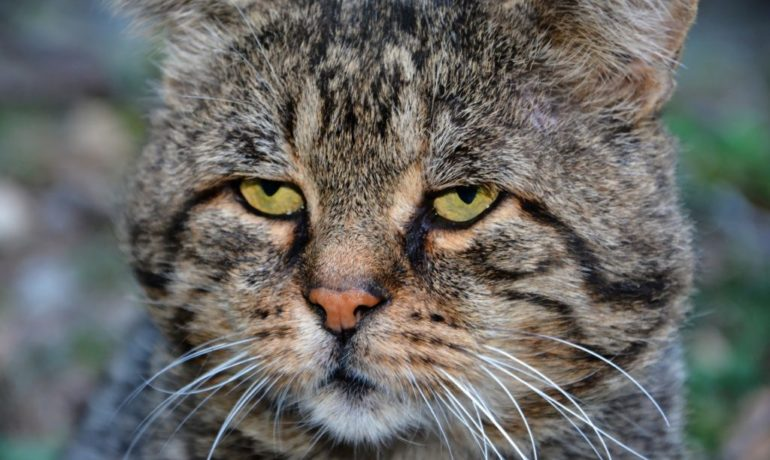 rinotraqueítis felina