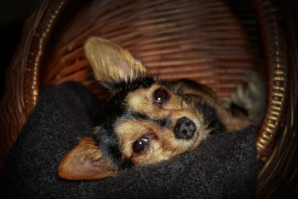 perros sensibles al frío