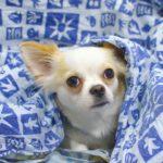 razas de perros que son más sensibles al frío