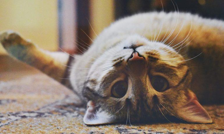 beneficios del ronroneo del gato