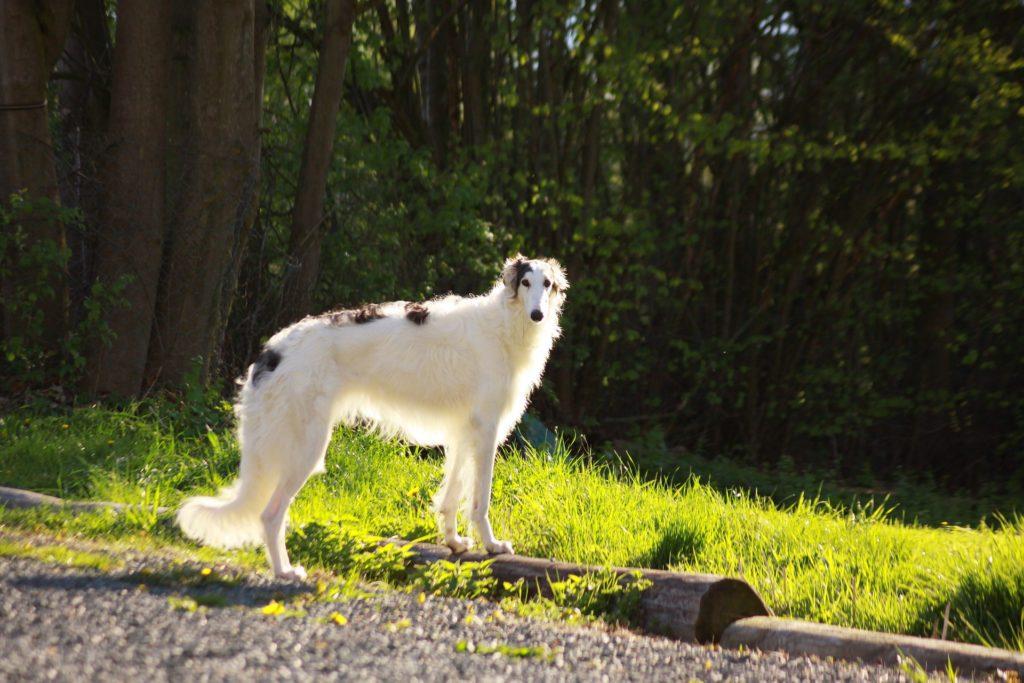 Borzoi los perros más rápidos del mundo