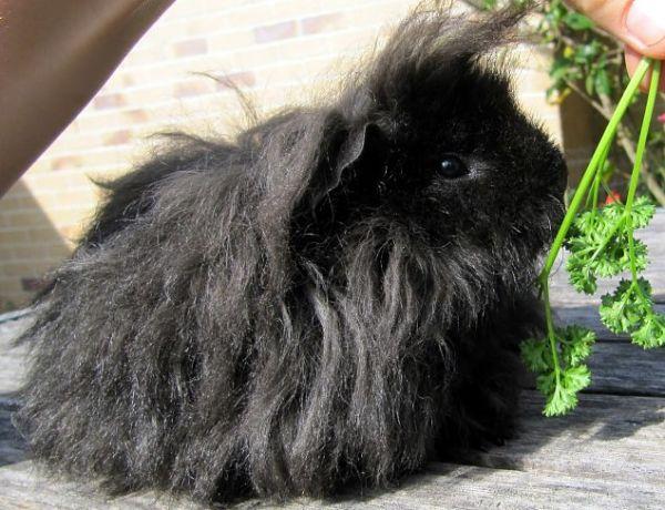 cobaya alpaca de pelo largo