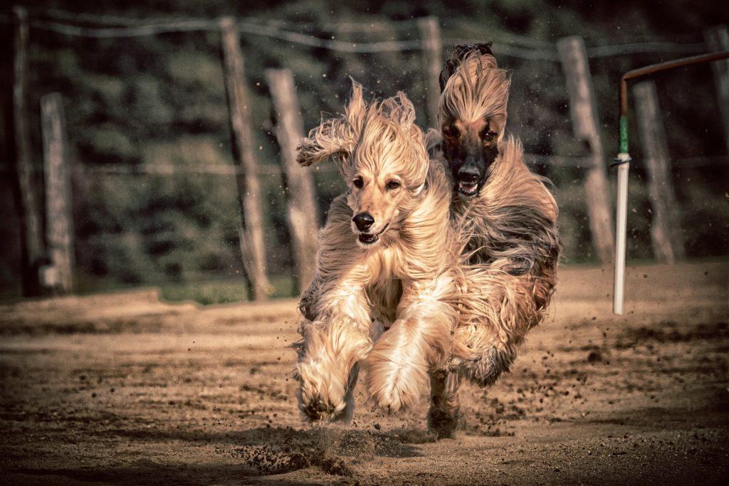 Galgo Afgano los perros más rápidos del mundo
