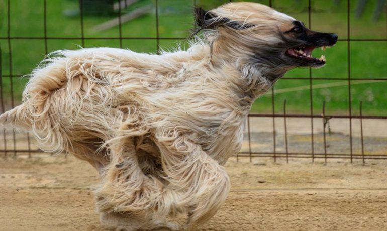 los perros más rápidos del mundo