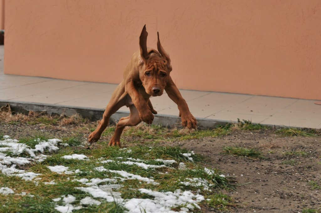 Vizsla los perros más rápidos del mundo