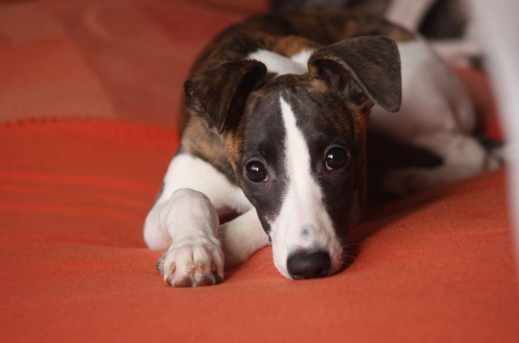 Whippet los perros más rápidos del mundo