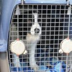 acostumbrar a tu perro al transportín