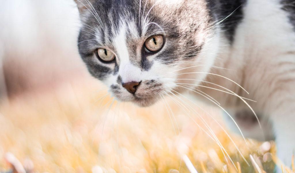 la castración en gatos o castración felina