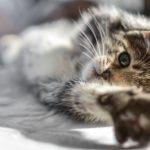 castración felina