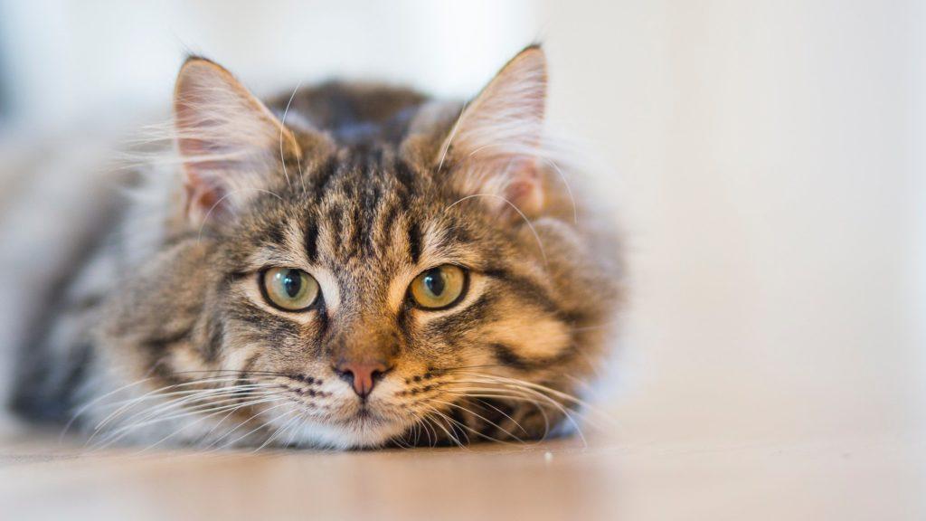 la demencia senil en gatos