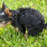 coprofagia en perros