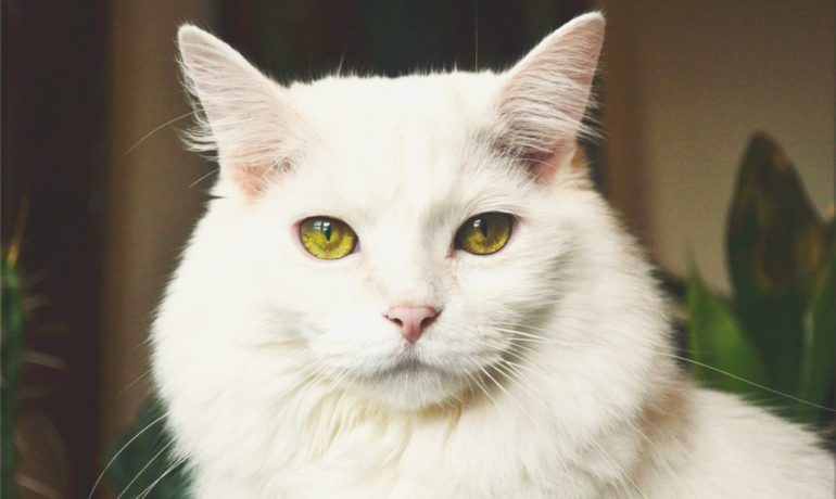 demencia senil en gatos