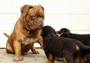 Influye el tamaño del perro en su inteligencia