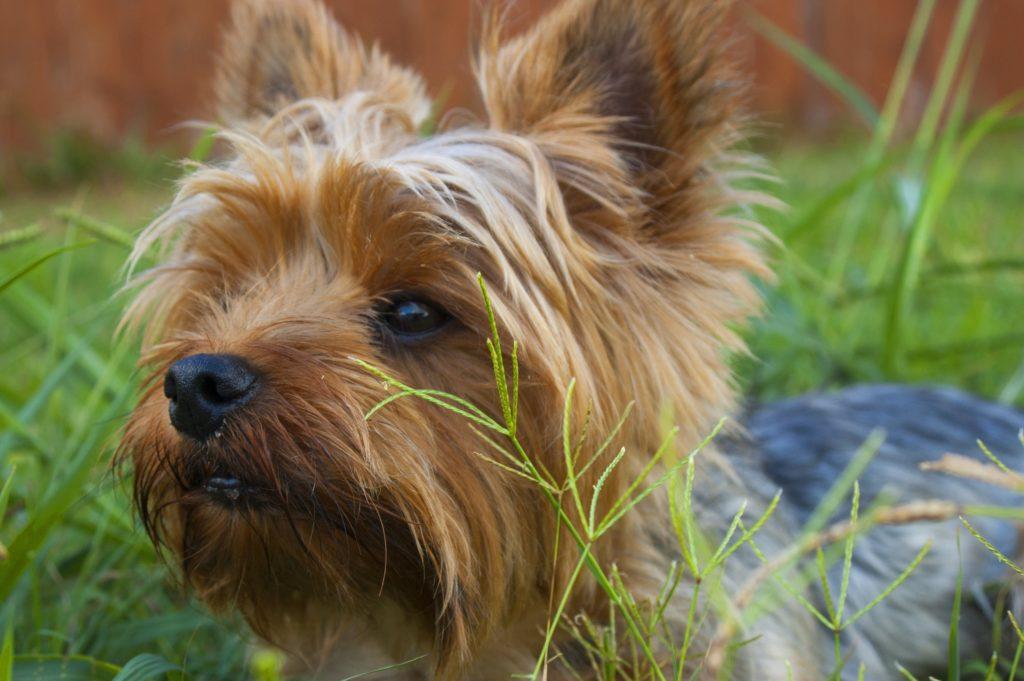perros que no crecen yorkshire terrier