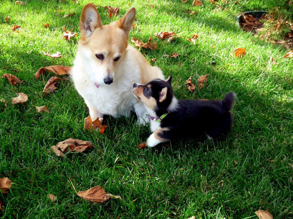 Relación de tamaño del perro e inteligencia
