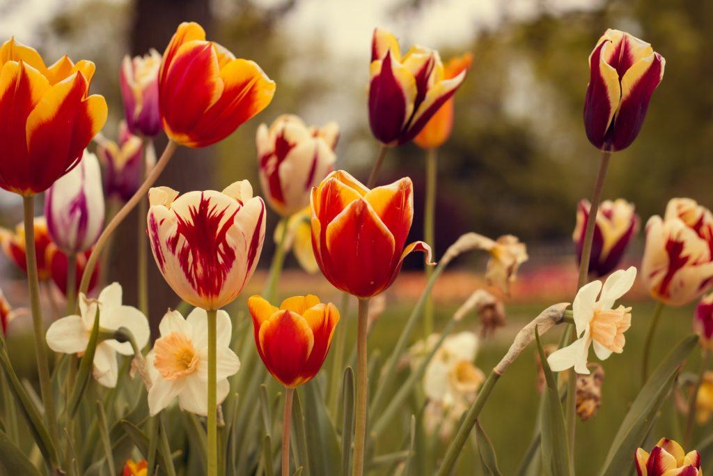Tulipán plantas venenosas para perros