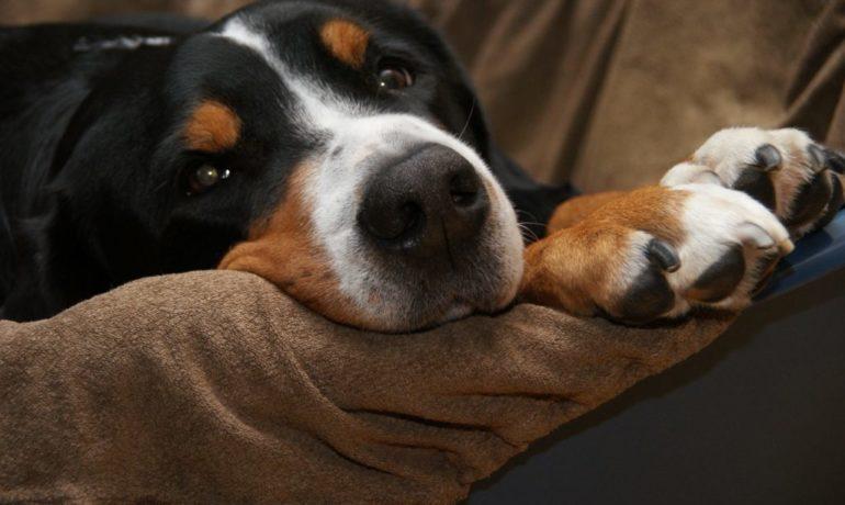 adoptar a un perro mayor