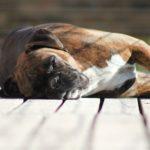 causas del desmayo en perros