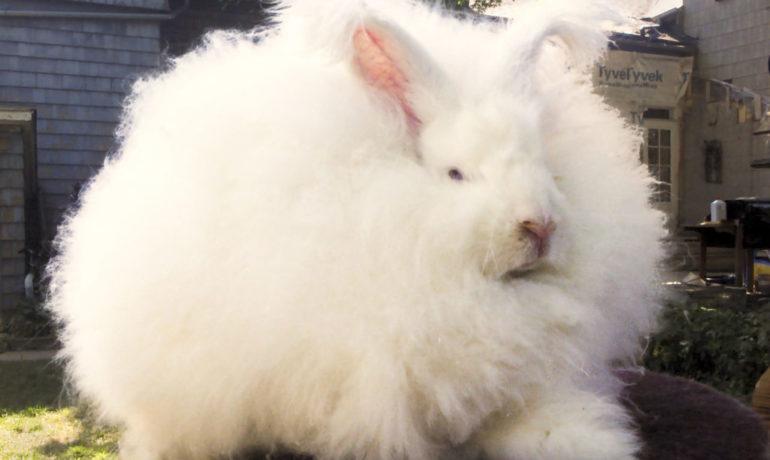 Conejo angora o conejo de angora gigante