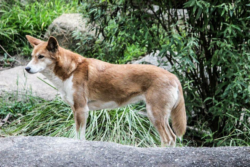 conoce al dingo australiano