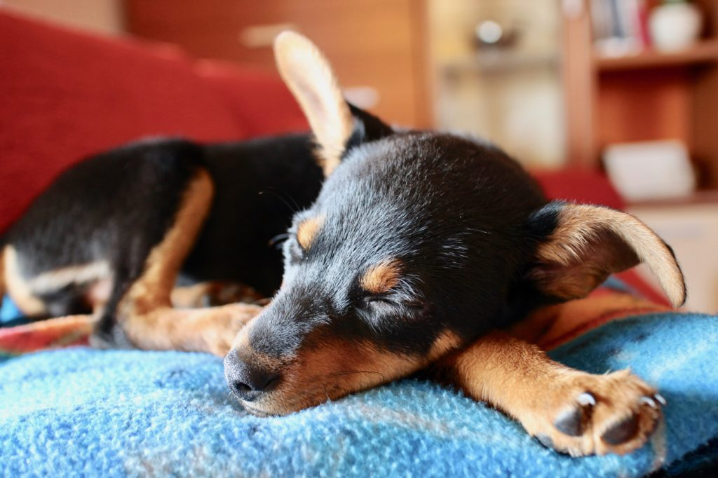 raza perro Pinscher miniatura
