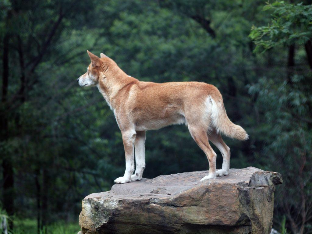 el dingo australiano