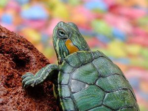 enfermedades del caparazón de las tortugas