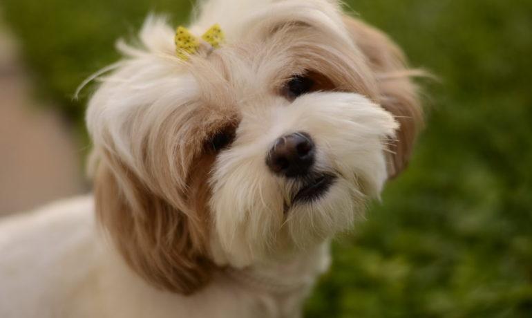 La menstruación canina o menstruación en las perras
