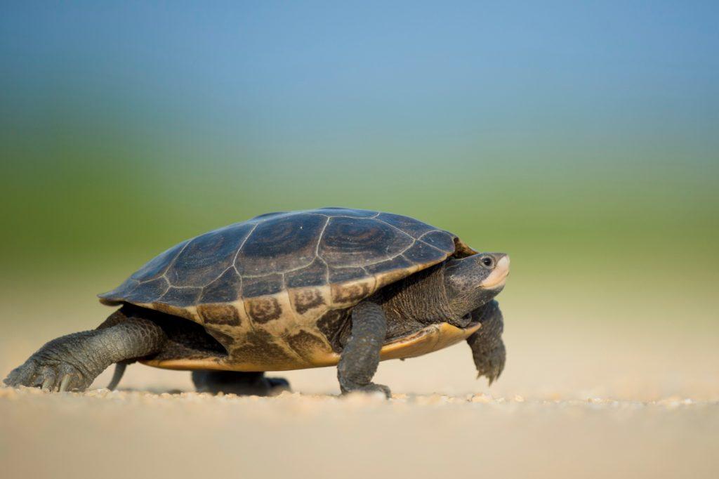 las enfermedades más frecuentes del caparazón de las tortugas