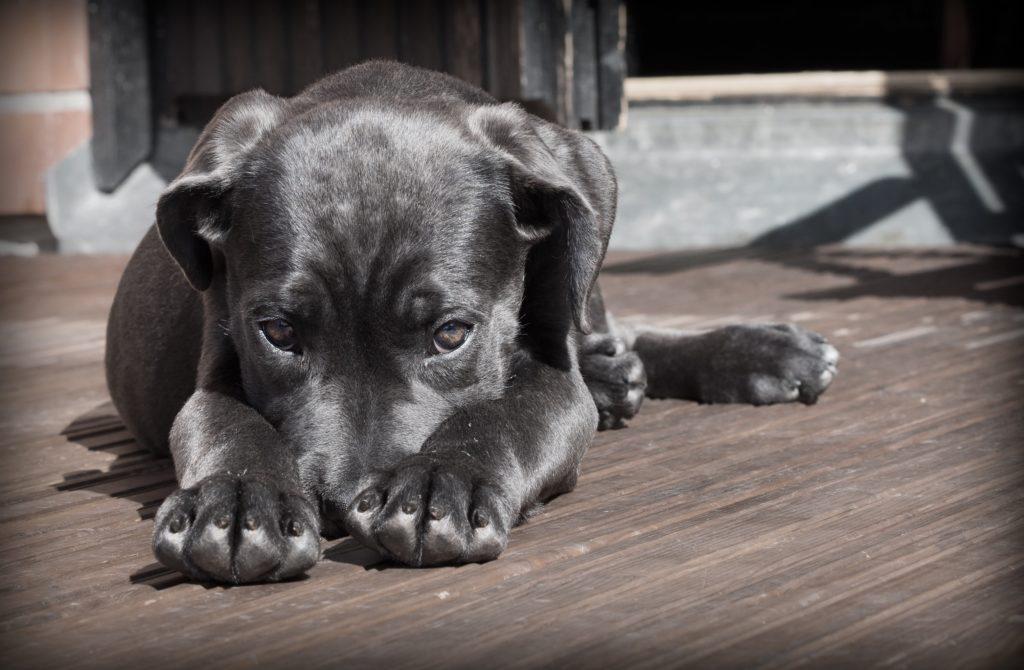 los síntomas del moquillo en perros