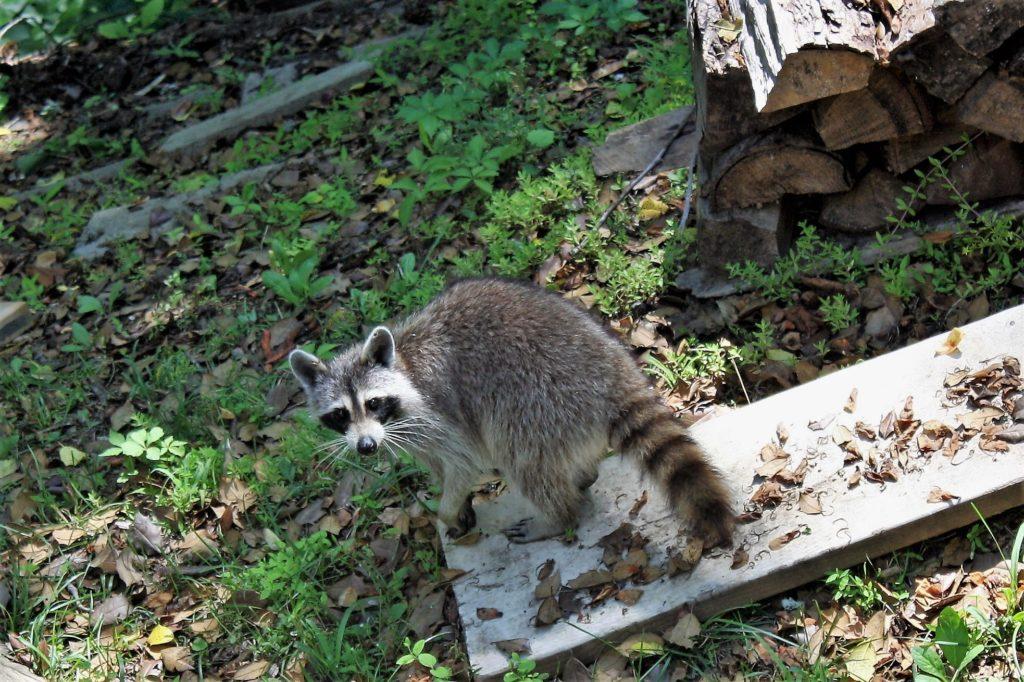 mascotas invasoras como el mapache