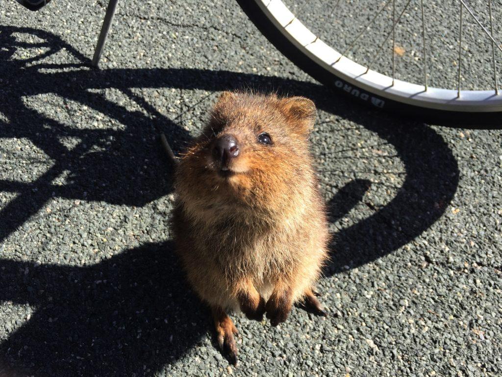 quokka el animal más feliz del mundo
