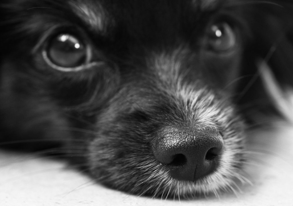 razones para adoptar a un perro mayor