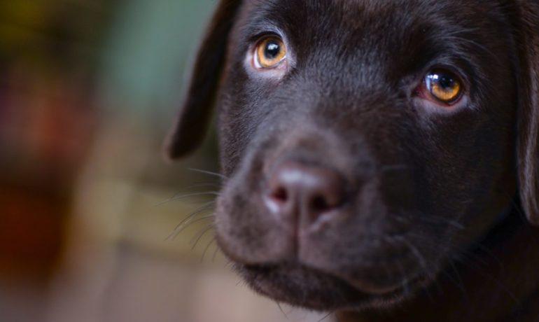 síntomas del moquillo en perros
