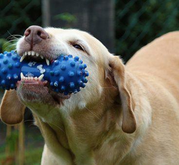 cuántos dientes tiene un perro adulto