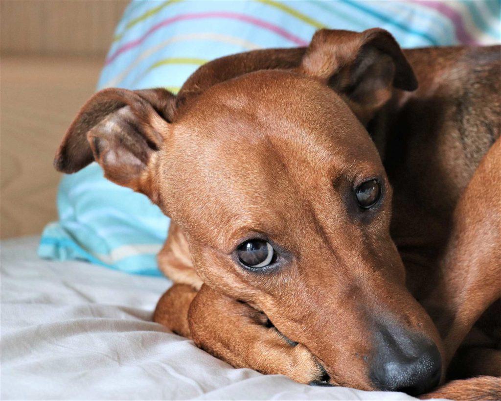 detectar síntomas de embarazo psicológico en perros