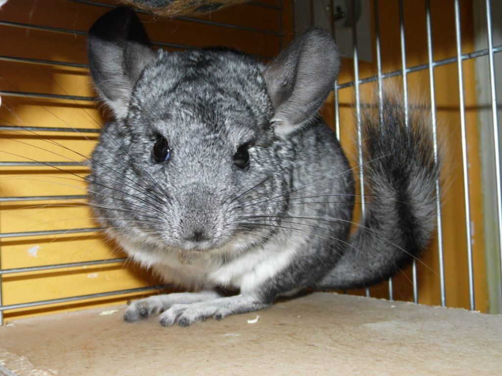 las chinchillas
