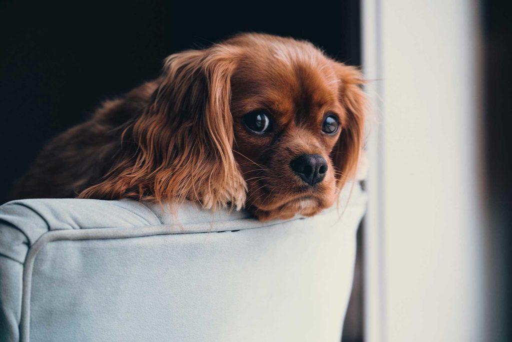 los síntomas de embarazo psicológico en perras