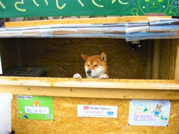 shiba inu que administra puesto de batata asada