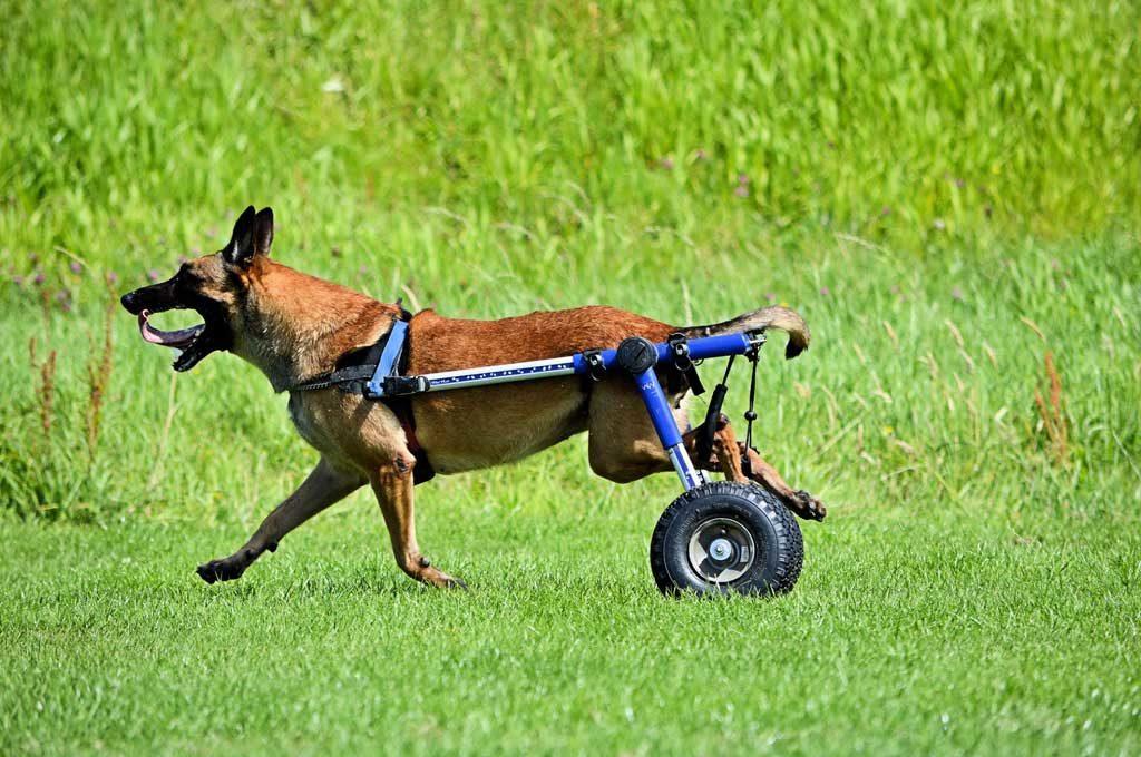sillas de ruedas para perros con discapacidas