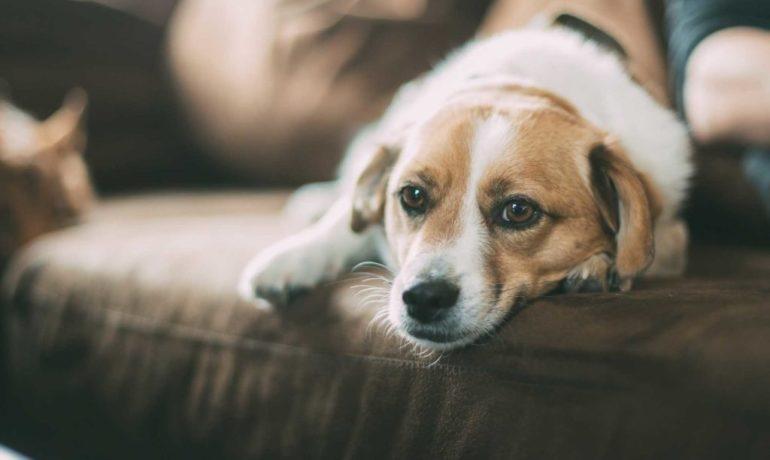 síntomas de embarazo psicológico en perros