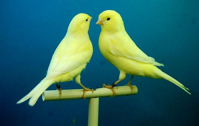 canarios pájaros cantores