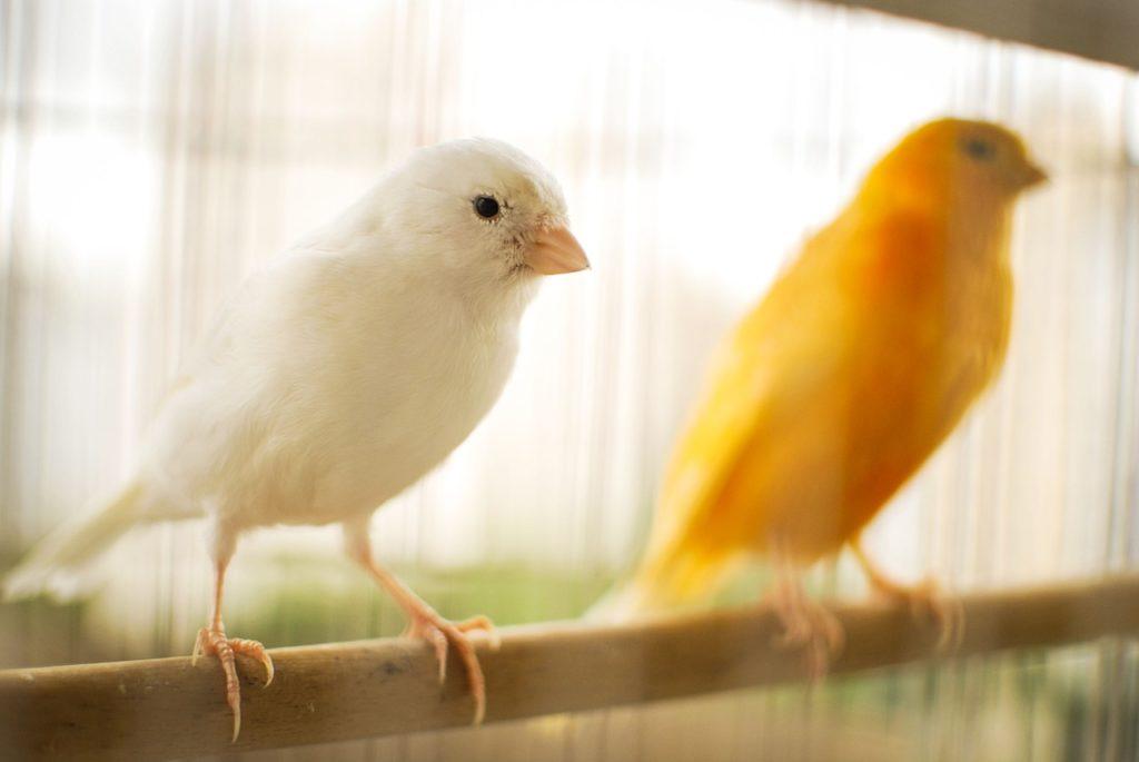 consejos para cuidar a un canario