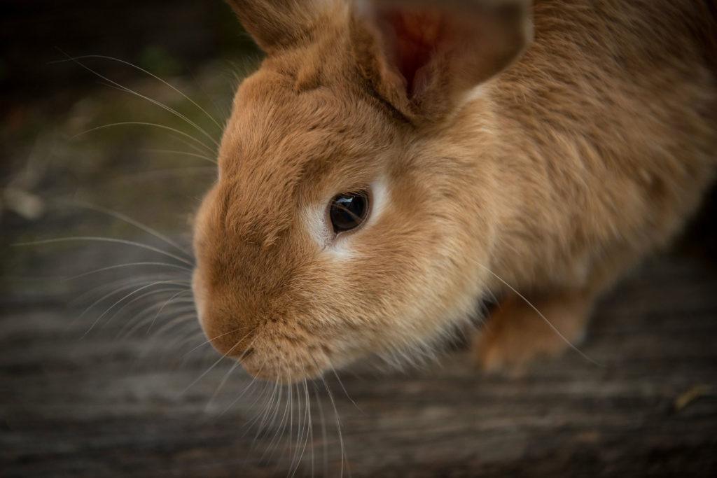 consejos para tener un conejo como mascota