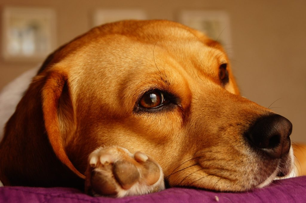 cuidados de las patas de los perros