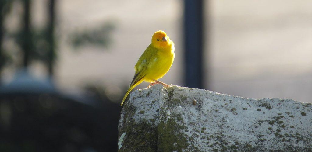 cómo cuidar a un canario
