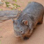 conoce al wombat
