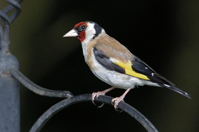 jilguero pájaros cantores