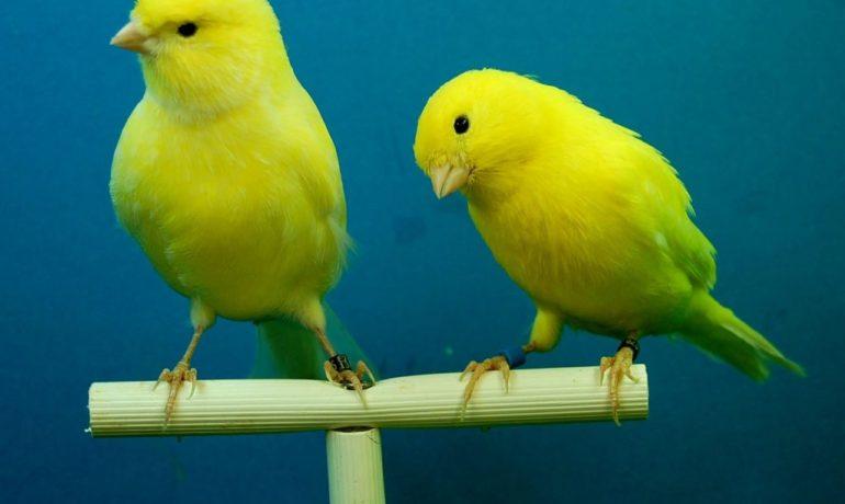 cuidar a un canario